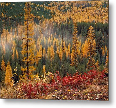Western Larch Forest Autumn Metal Print by Leland D Howard