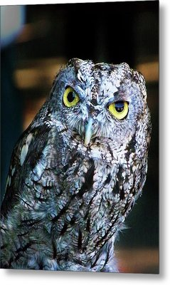 Metal Print featuring the photograph Western Screech Owl by Anthony Jones