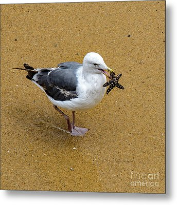 Western Seagull Carrying A Starfish Metal Print