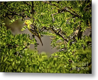 Western Tanager Metal Print by Robert Bales