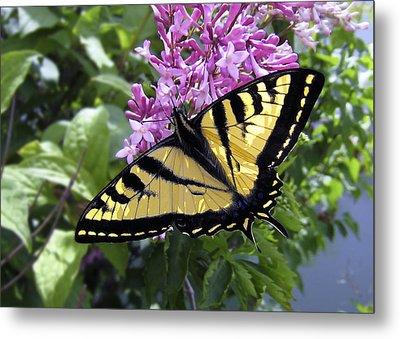 Western Tiger Swallowtail Butterfly Metal Print by Daniel Hagerman