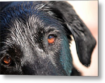 Metal Print featuring the photograph Wet Black Lab by Vivian Krug Cotton