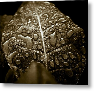 Wet Havana Tobacco Leaf Metal Print by Frank Tschakert