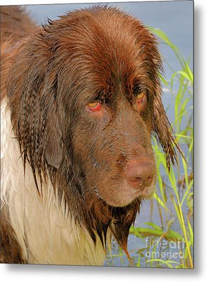 Metal Print featuring the photograph Wet Newfie by Debbie Stahre