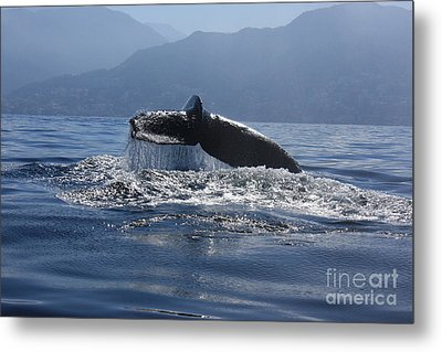 Metal Print featuring the photograph Whale Fluke by Nicola Fiscarelli