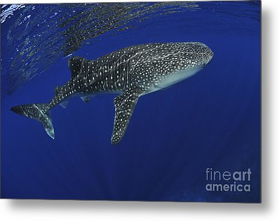 Whale Shark Near Surface With Sun Rays Metal Print by Mathieu Meur