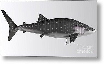 Whale Shark Side Profile Metal Print