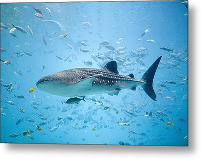 Whale Shark Swimming In Aquarium Metal Print by Stephen Marks