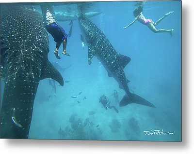 Whale Sharks Metal Print by Tim Fitzharris