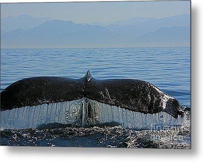 Whale Tail 4 Metal Print by Nicola Fiscarelli