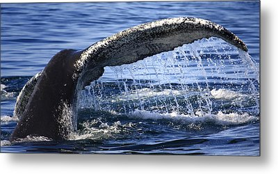 Whale Tail Metal Print by Dapixara Art