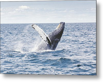 Whale Tail Metal Print by Happy Home Artistry