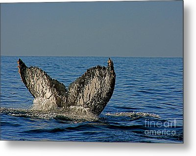 Whale Tail Metal Print by Nicola Fiscarelli