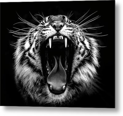 What Big Teeth You Have Metal Print by Wes and Dotty Weber