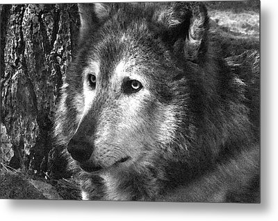 What Is A Wolf Thinking Metal Print by Karol Livote