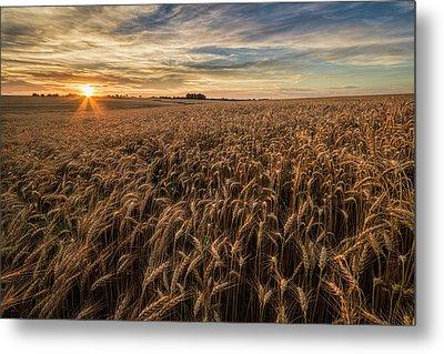 Wheat At Sunset Metal Print