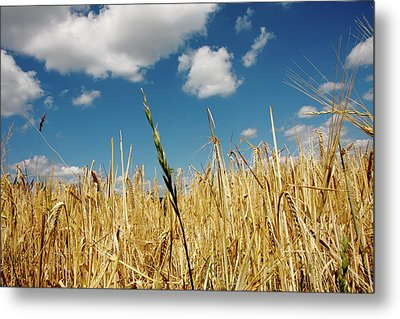 Metal Print featuring the photograph Wheat On The Rhine by KG Thienemann