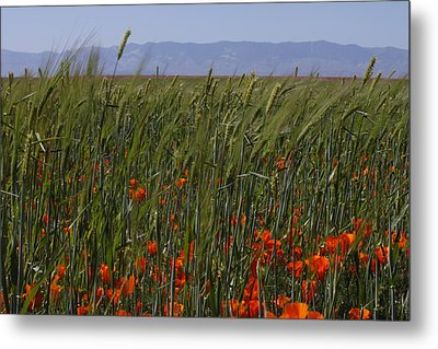 Wheat With Poppy  Metal Print by Ivete Basso Photography