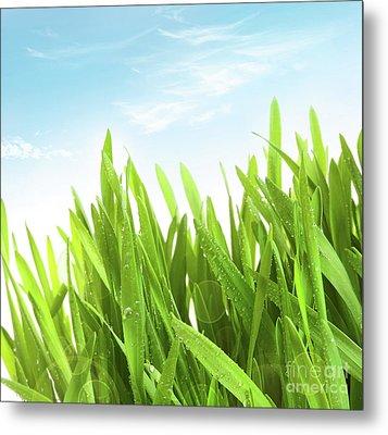 Wheatgrass Against A White Metal Print by Sandra Cunningham