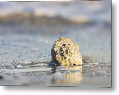 Whelk Shell In Surf Metal Print