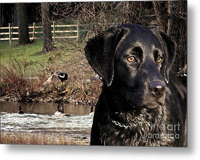Where's The Geese Labrador 4 Metal Print