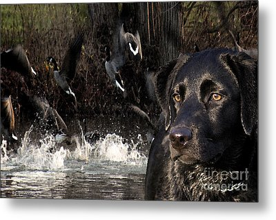 Where's The Geese Labrador 6 Metal Print by Cathy  Beharriell