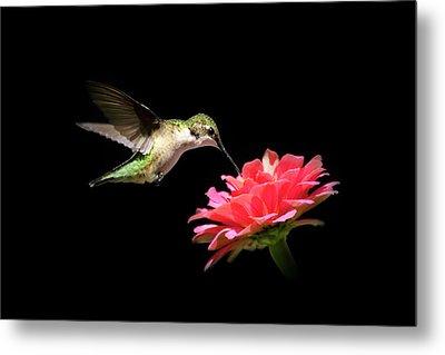 Whispering Hummingbird Metal Print by Christina Rollo