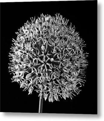 White Allium Metal Print by Sandra Foster
