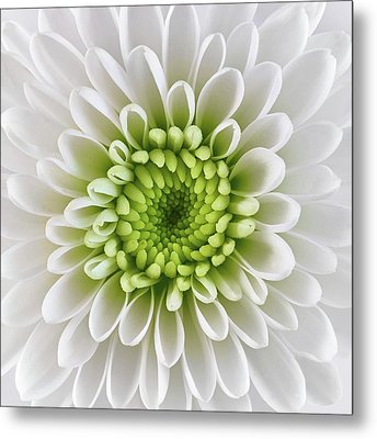 White And Green  Chrysanthemum Metal Print by Jim Hughes
