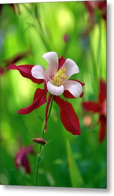 Metal Print featuring the photograph White And Red Columbine  by James Steele