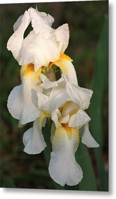 Metal Print featuring the photograph Two White Bearded Iris At Dusk by Sheila Brown