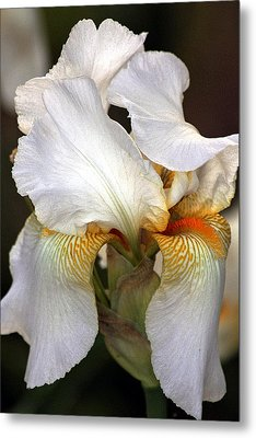 Metal Print featuring the photograph White Bearded Iris by Sheila Brown