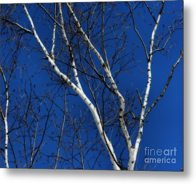 Metal Print featuring the photograph White Birch Blue Sky by Smilin Eyes  Treasures