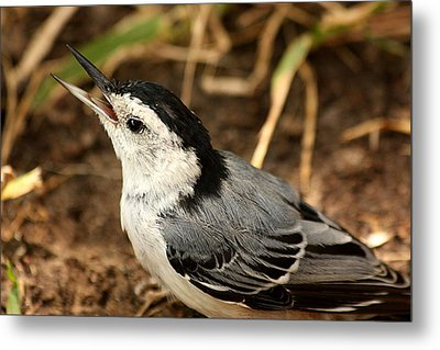 White Breasted Nuthatch 2 Metal Print