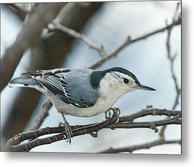 Metal Print featuring the photograph White Breasted Nuthatch 2017 2 by Lara Ellis