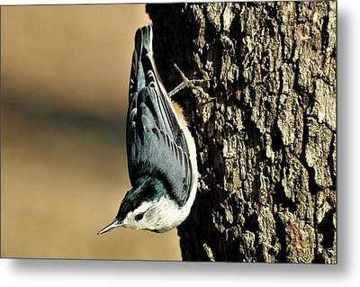 White-breasted Nuthatch On Tree Metal Print