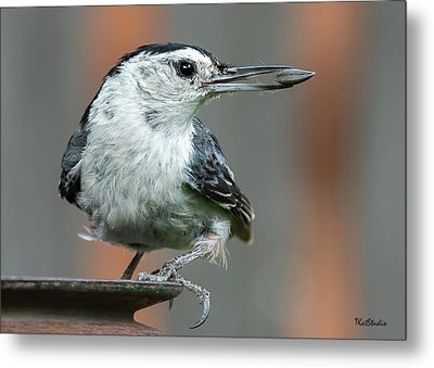 White-breasted Nuthatch With Sunflower Seed Metal Print