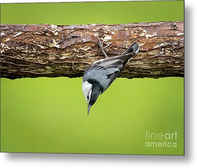 Metal Print featuring the photograph White-breasted Nuthatches by Ricky L Jones