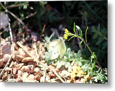 White Butterfly On Goldenseal Metal Print by Colleen Cornelius