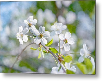 Metal Print featuring the photograph White Cherry Blossoms In Spring by Alexander Senin