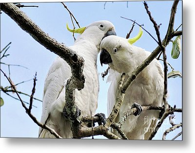 White Cockatoos Metal Print by Kaye Menner