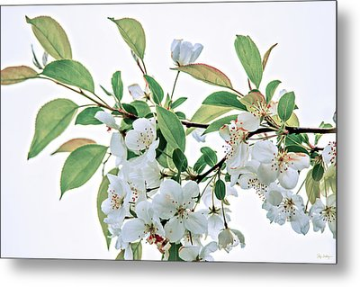 White Crabapple Blossoms Metal Print by Skip Tribby