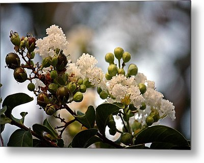 Metal Print featuring the photograph White Crape Myrtle- Fine Art by KayeCee Spain