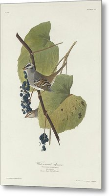 White-crowned Sparrow Metal Print by Rob Dreyer