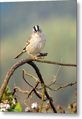 White Crowned Sparrow Metal Print
