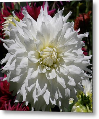 White Dahlia Photo Metal Print by Judy Mercer