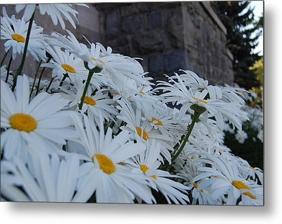 White Daisies Metal Print by Jean Booth