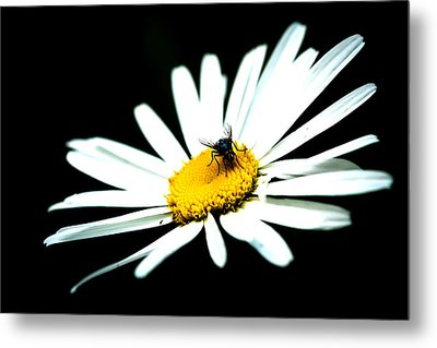 Metal Print featuring the photograph White Daisy Flower And A Fly by Alexander Senin