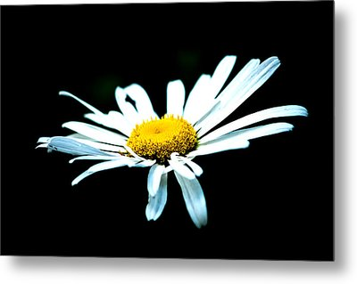 Metal Print featuring the photograph White Daisy Flower Black Background by Alexander Senin