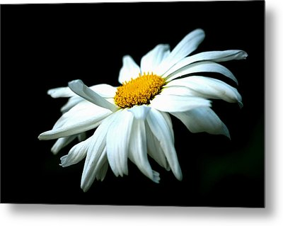 Metal Print featuring the photograph White Daisy Flower In The Wind by Alexander Senin